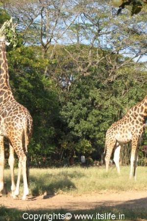 Giraffe - Mysore Zoo