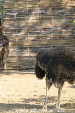 Ostrich - Mysore Zoo