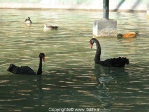 Black Swan - Mysore Zoo