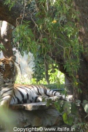 Tiger - Mysore Zoo