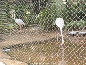 Flamingoes - Mysore Zoo