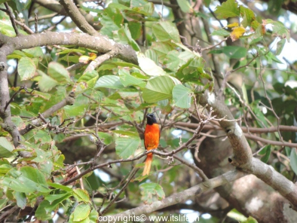 Minivet - Kalapathar Beach - Havelock Island