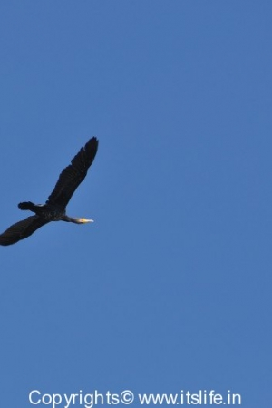 Large Cormorant in flight