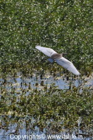 Pond Heron in Flight