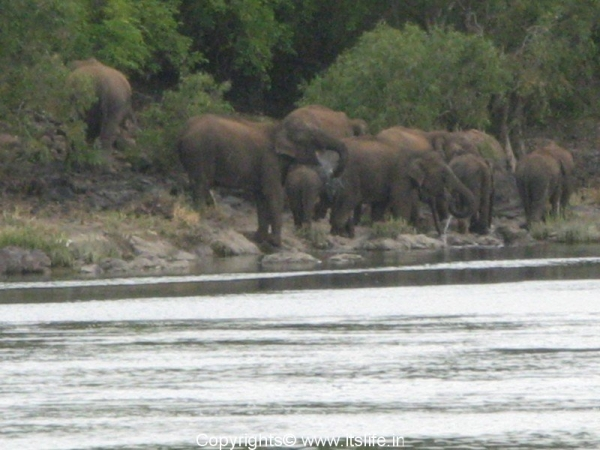 Elephants at Bheemeswari