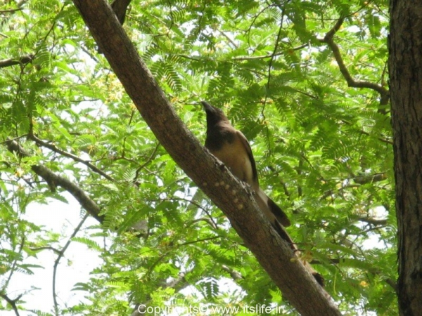 Bheemeswari Pied Crested Cuckoo