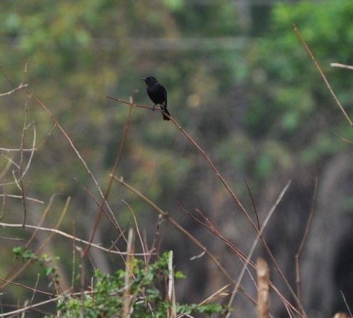 Valley School Birding - Bush Chat