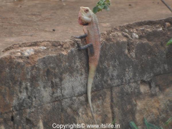 Changeable Lizard