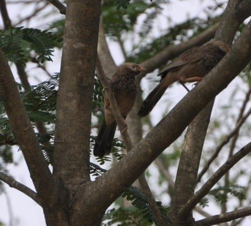 Valley School Birding - Jungle Babbler
