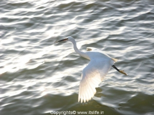 Large Egret Nagavara Lake