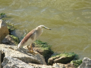 Pond Heron Nagavara Lake