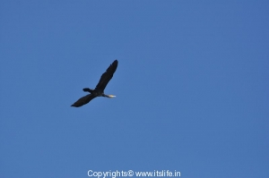 Large Cormorant in flight