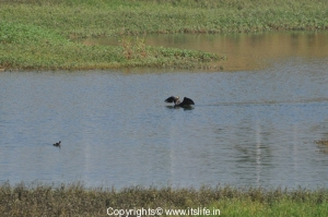 Large Cormorant and Grebe