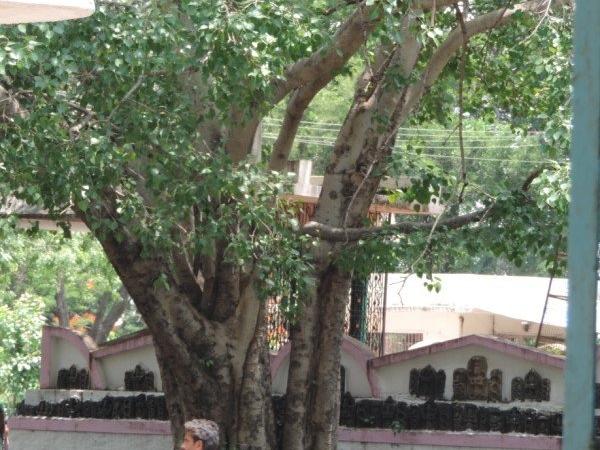 Vidurashwatha