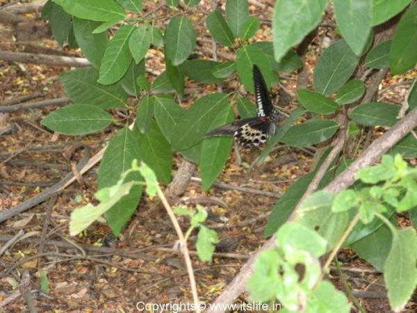 Bheemeswari Butterfly