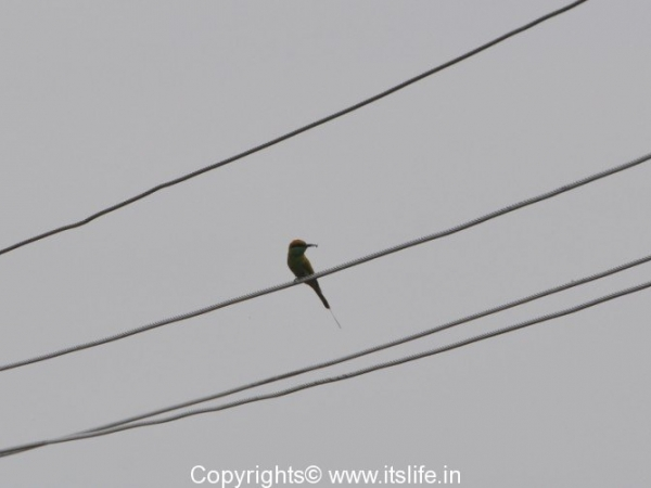 Valley School Birding - Bee Eater