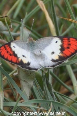 Ramadevara Betta - Orange Tip Butterfly