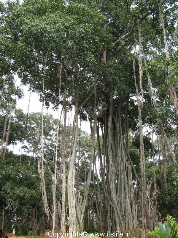 Plant summary banyan tree is india s national tree and