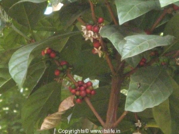 Chikkamagalore