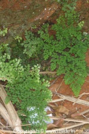 Seethalaiahnagiri - Ferns