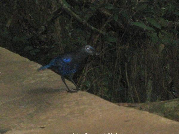 Sirimane Waterfalls - Asian Fairy Bird