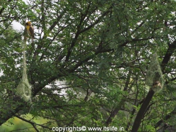 travel-markonahalli-baya-weaver-bird