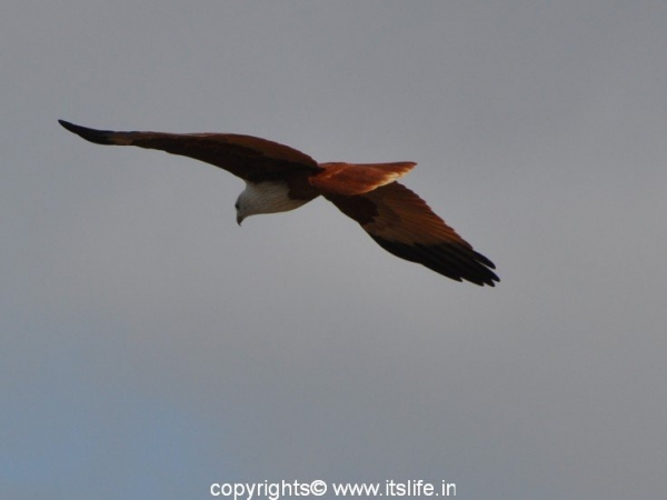 travel-markonahalli-brahminy-kite