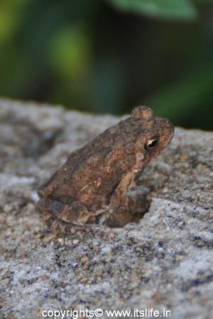 Markonahalli Dam - Frog
