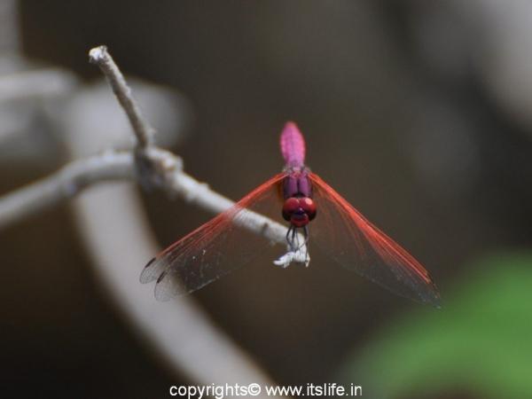Markonahalli Dam - Damsel Fly