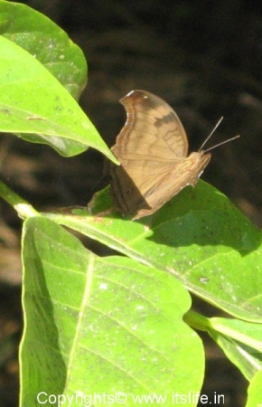 iruppu-falls-moth