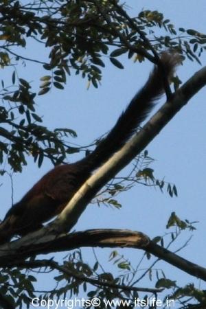 malabar-squirrel