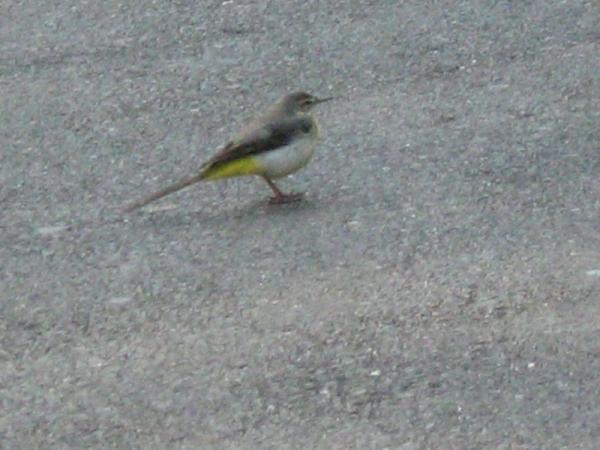 Yellow Wagtail