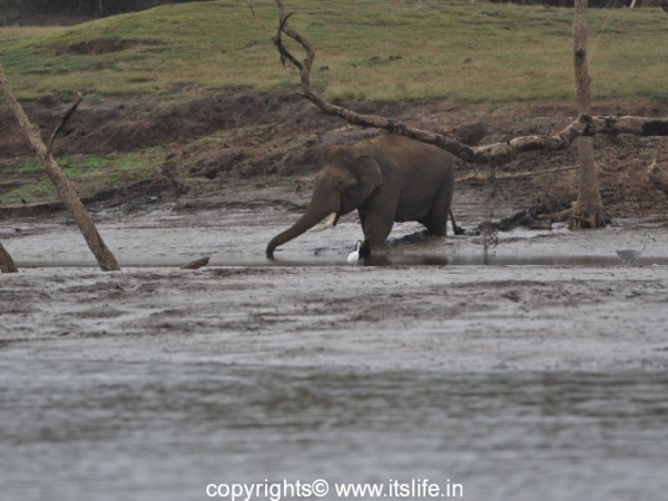 Kabini - Elephant in river