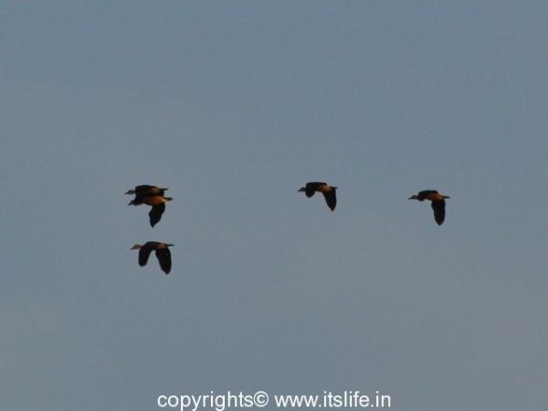 Geese in flight - Kabini