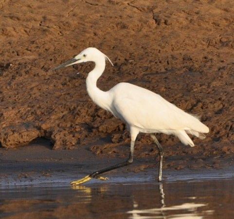 Egret - Kabini
