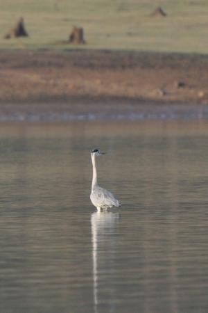 Purple Heron - Kabini