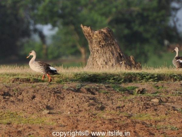 Spot Billed Duck - Kabini