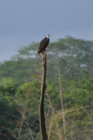 Osprey - Kabini
