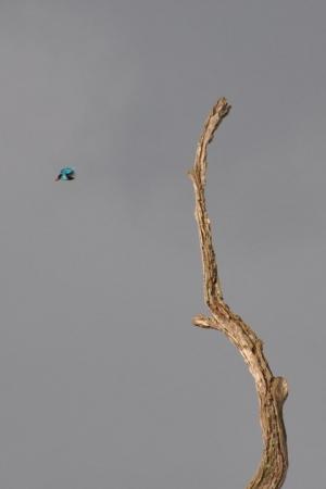Small Kingfisher - kabini