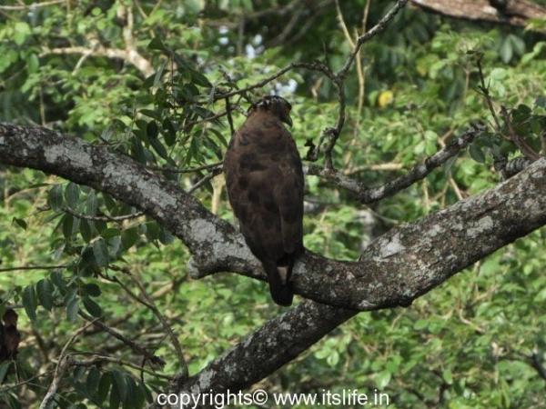 Crested hawk eagle - Kabini