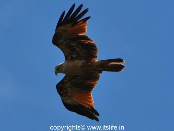 Brahminy Kite - Immature - Kabini