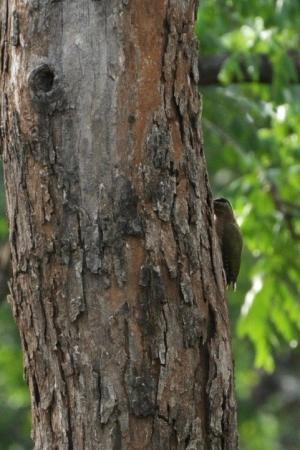 Streak throated woodpecker - Kabini