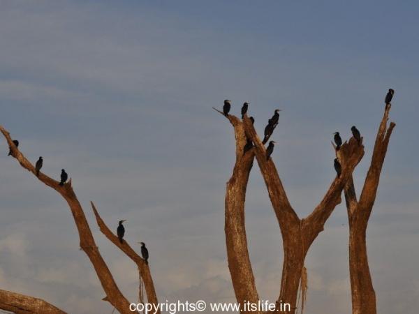 Cormorants - Kabini