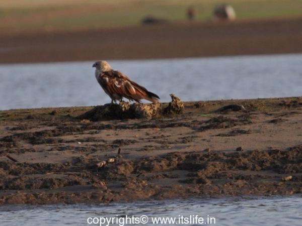 Brahminy Kite - Sub Adult - Kabini