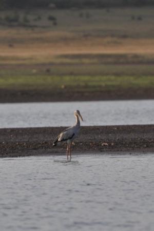 Open billed Stork - Kabini
