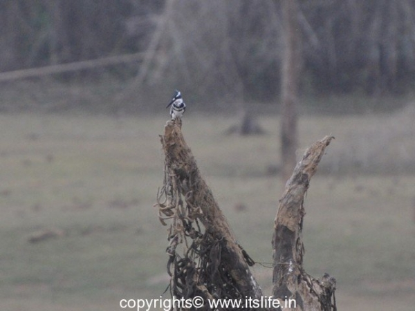 Pied Kingfisher - Kabini