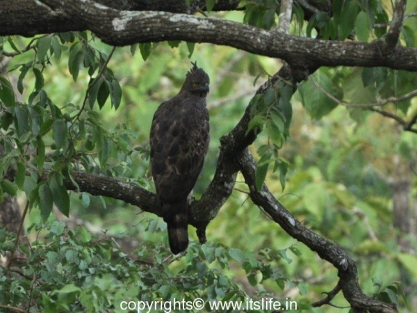 Kabini Wildlife Sanctuary - Crested Hawk Eagle