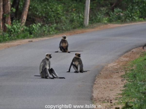 Kabini Wildlife Sanctuary - Langur Group