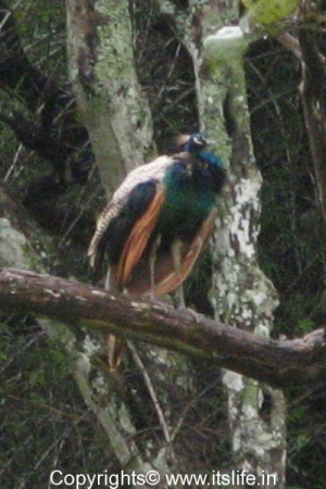 Peacock - Bandipur