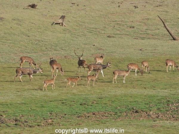 Kabini - Deer